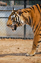 Tigers live alone aggressively scent mark large territories to keep their rivals away Royalty Free Stock Photo