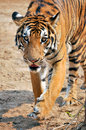 Tigers live alone and aggressively scent mark large territories to keep their rivals away Stock Image