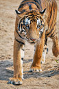 Tigers live alone and aggressively scent mark large territories to keep their rivals away Royalty Free Stock Photo