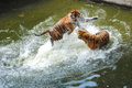 Tigers play fighting in water two young female siberian Royalty Free Stock Photography