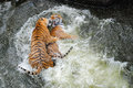 Tigers play wrestling in water two young female siberian fighting Royalty Free Stock Photo