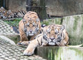 Tigers ready to pounce Royalty Free Stock Photo