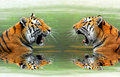 Tigers two siberian in water Royalty Free Stock Photography