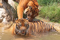 Tigers two young male play fighting in water Stock Image