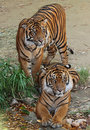 Tigers two young tiger cats posing together Stock Photo