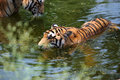 Tigers in water Stock Image