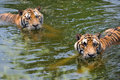 Tigers in water Stock Photo