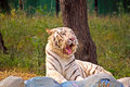 Tigers yawn of white bengal tiger in delhi zoo Royalty Free Stock Image