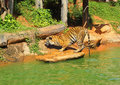 Tigers In Zoos And Nature