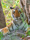 Tigress in wild Royalty Free Stock Photo