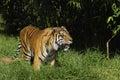 Tigre de Bengale sur le vagabondage Photographie stock libre de droits