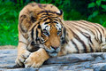 Tigre de sud de la Chine Photo stock