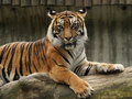 Tigre de Sumatran Photos stock