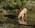 Tigre Reflectioin Photos libres de droits