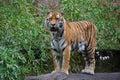 Tigre sibérien (altaica de tigris de Panthera) Photographie stock