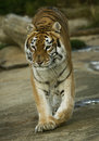 Tigress adult indian on the move Royalty Free Stock Photography
