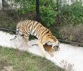Tigress grasp cub safari park taigan crimea with in aviary Stock Photos