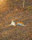 Tigress lying on the ground, resting. Russia. the Amur tiger.