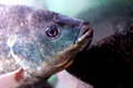 Tilapia Royalty Free Stock Photo