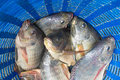 Tilapia and Nile tilapia in blue plastic bucket, raw fresh fresh Royalty Free Stock Photo