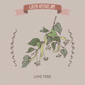 Tilia cordata aka small leaved lime or linden color sketch. Royalty Free Stock Photo