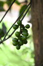 Tiliacora fruit yanang thai on the tree in the garden Royalty Free Stock Photo