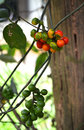 Tiliacora fruit yanang thai on the tree in the garden Royalty Free Stock Photos
