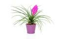 Tillandsia Cyanea Flower Isola...