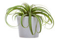 Tillandsia on the white Royalty Free Stock Photo