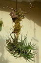 Tillansia bromeliad plants without roots Stock Photography