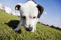 Tilted wide angle view pitbull looking down grass urban park Stock Photo