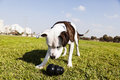 Tilted wide angle view pitbull looking his black chew toy laying grass urban park Royalty Free Stock Image