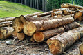 Timber harvesting ready before shipment to processing Royalty Free Stock Image