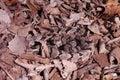 Timber Rattlesnake - Crotalus horridus Royalty Free Stock Photo