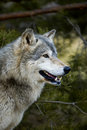 Timber Wolf (Canis lupus) - Profile - Tree Background Stock Photos