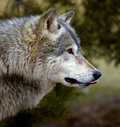 Timber Wolf (Canis lupus) Sticking Tongue Out Royalty Free Stock Images