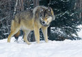 Timber wolf large in a winter setting Royalty Free Stock Photos
