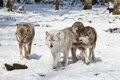 Timber wolf pack in winter forest of four wolves snowy white Stock Photography