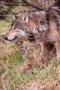 Timber Wolf Pokes Head Out Royalty Free Stock Image