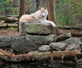 Timber wolf on a rock Royalty Free Stock Photo