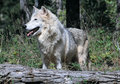 Timber wolf standing behind a fallen tree Royalty Free Stock Image