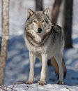 Timber wolf standing in the winter snow