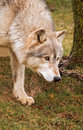 Timber Wolf - Tree with Chain Stock Photos