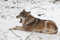 Timber wolf in winter Stock Photo