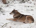 Timber wolf in winter Royalty Free Stock Photography