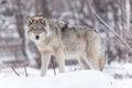 Madera lobo en bosque