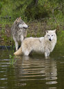 Pair of timber wolves at lake with reflection Royalty Free Stock Photo