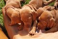 Time for food feed hungarian hound puppies breastfeeding vizsla Royalty Free Stock Images