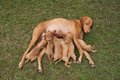 Time for food feed hungarian hound puppies breastfeeding vizsla Stock Photos