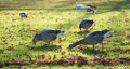 Time for lunch eating geese on an autumnal meadow Royalty Free Stock Images